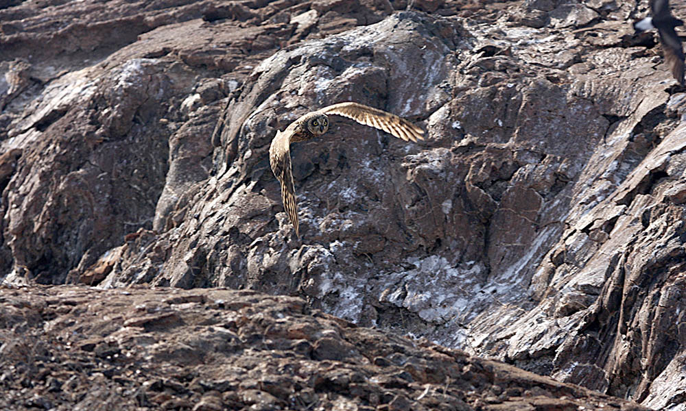 Wildlife, Galapagos short-eared owl 2 © WGHale