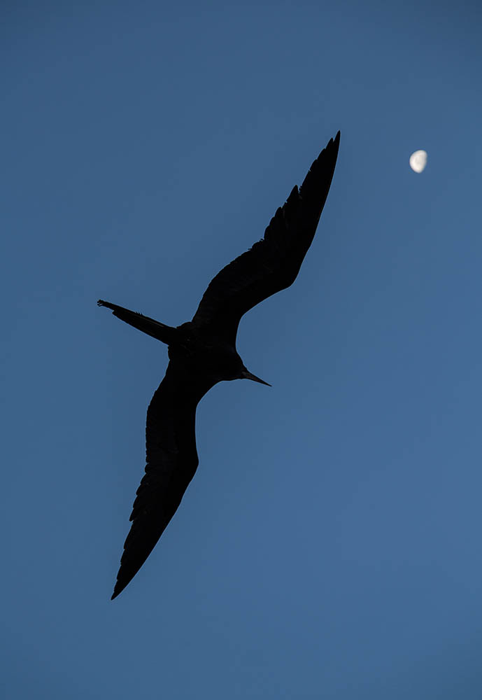 Frigatebird flying © Philip Ladmore