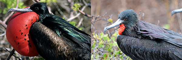 Magnificent & great frigatebird