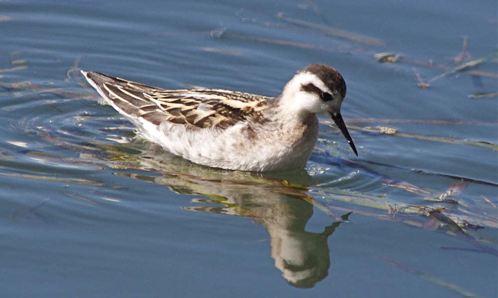 Red-necked phalarope with winter plumage