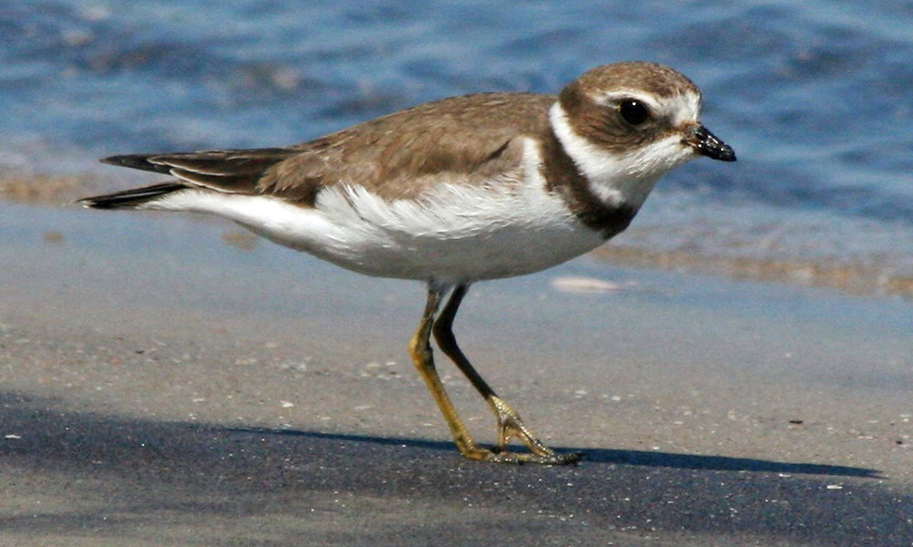 Semipalmated plover with winter plumage