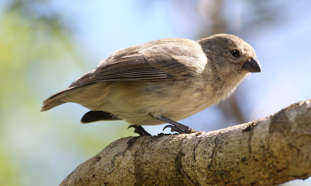 Darwin S Finches Galapagos Conservation Trust