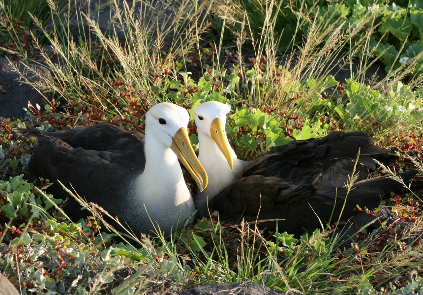 Waved Albatross © GCT