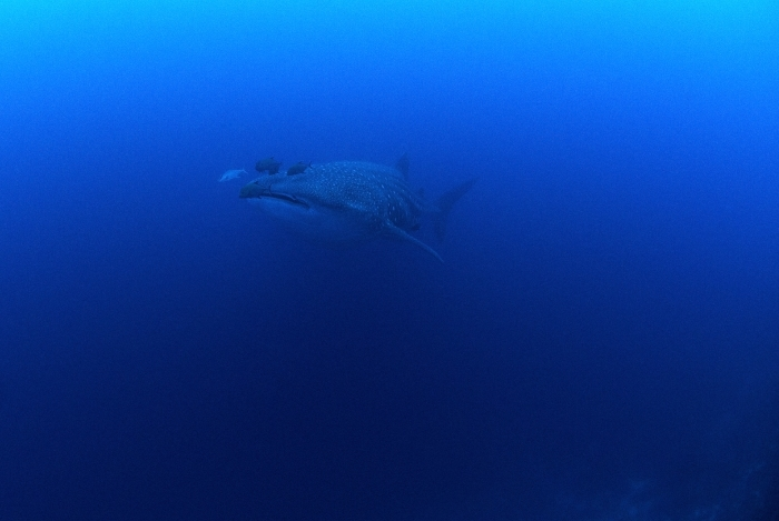 Whale Shark © Johnathan Green