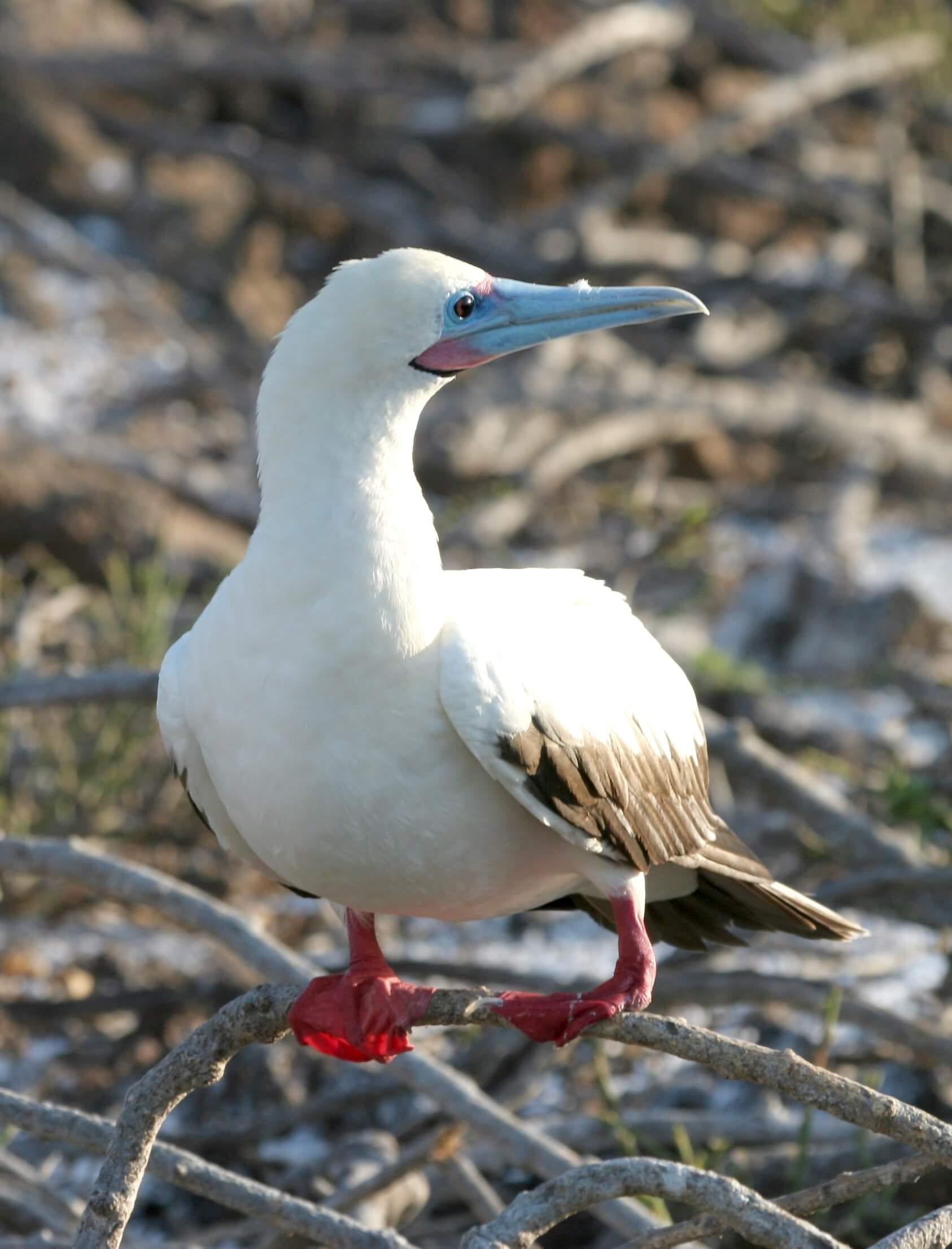 Red Footed Booby © Prof W. G. Hale