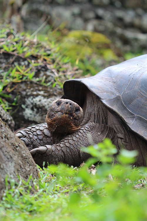 Galapagos Giant Tortoise - Lisa Brown