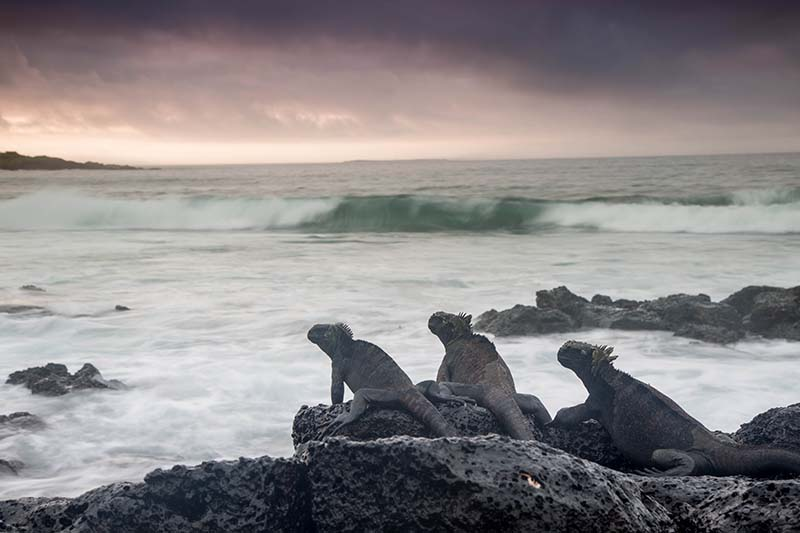 Marine Iguana - Stephanie Foote