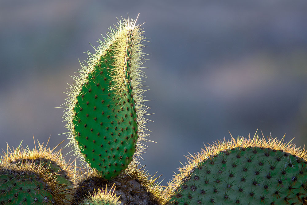 Botanical 1st Place - Prickly Pear Cactus by © Eric Williams