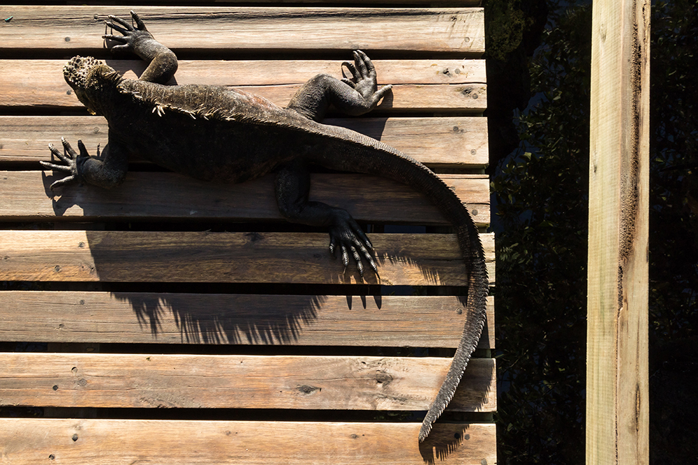 Man in the Archipelago 2nd Place - Sunbathing iguana © Carlos Cuenca Solana