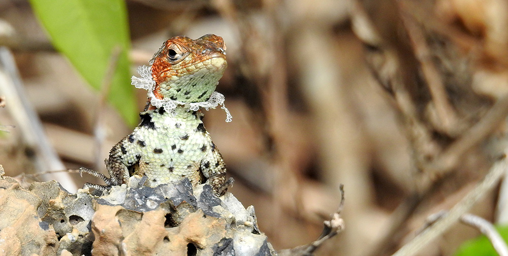 Animal Portrait 2nd place - An Elizabethan Lava Lizard by © Caroline Joan Marmion