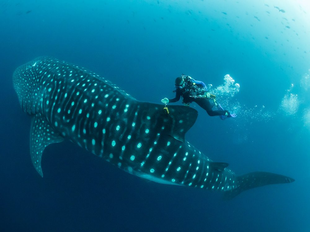 Man in the Archipelago 2nd place - Whale shark scientist by © Simon Pierce