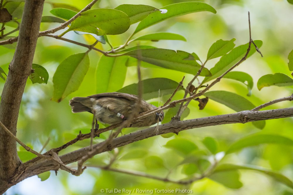 Captive reared female mangrove finch collects nest material © Tui DeRoy