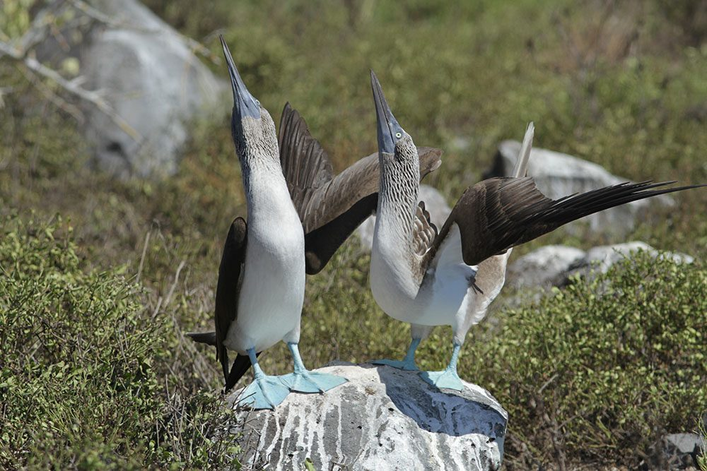 Blue-footed booby © Luis Ortiz Catedral