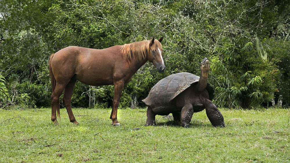 Galapagos giant tortoise and horse - Megan Sligsby