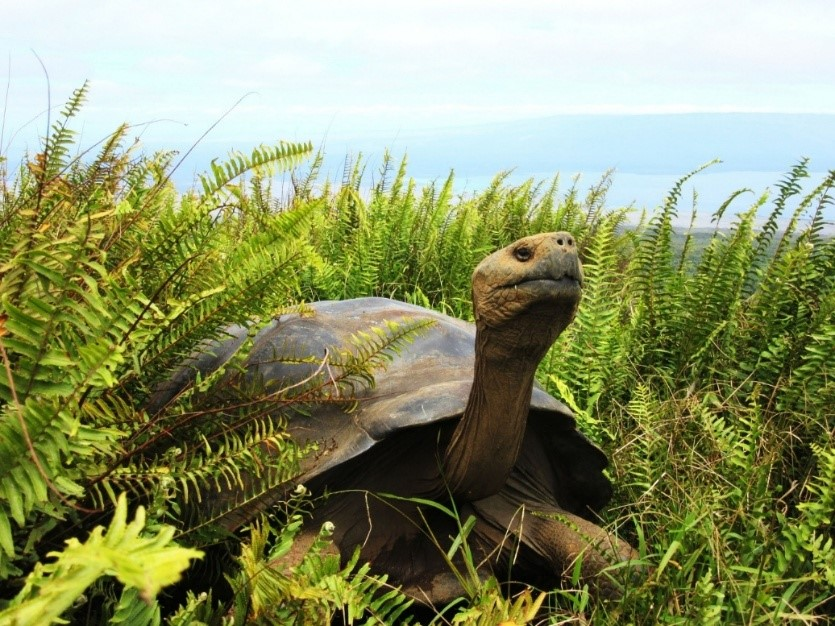 Galapagos tortoise from Alcedo Volcano at the edge of the crater © Surya Castillo, CDF