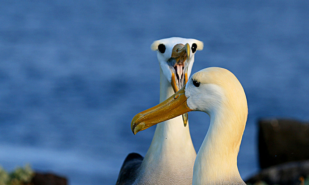 Waved albatross - Rey Major