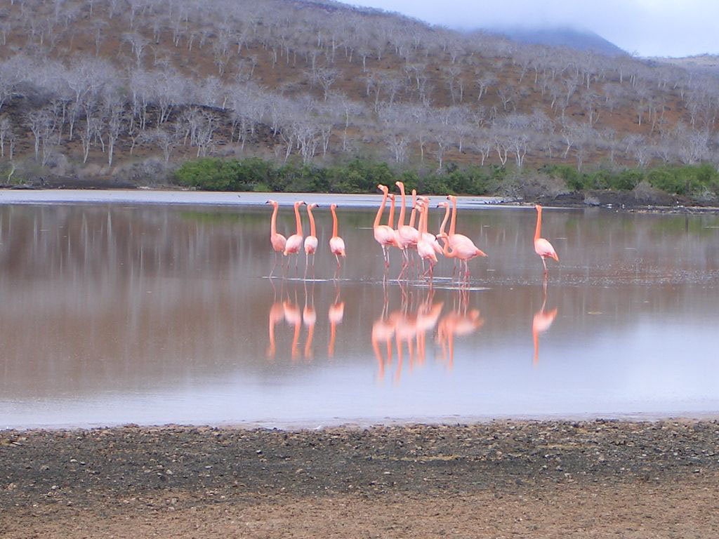 Flock of American flamingos © GCT