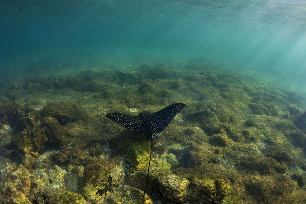 Spotted eagle ray Harriet Gardiner