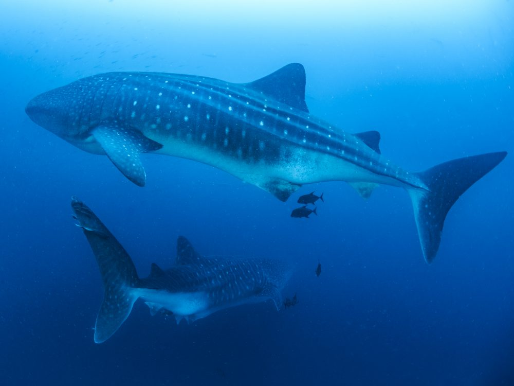 Whale sharks © Simon Pierce