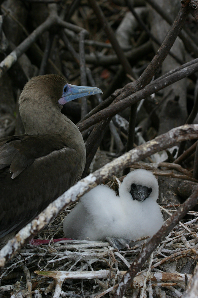 Red-footed booby and chick - Vanessa Horwell