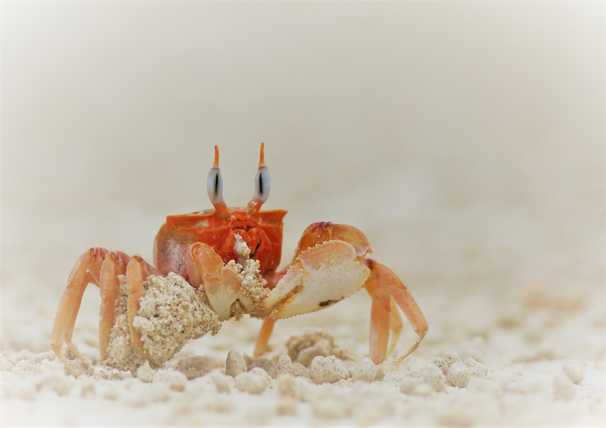 Ghost crab - Kevin Watson
