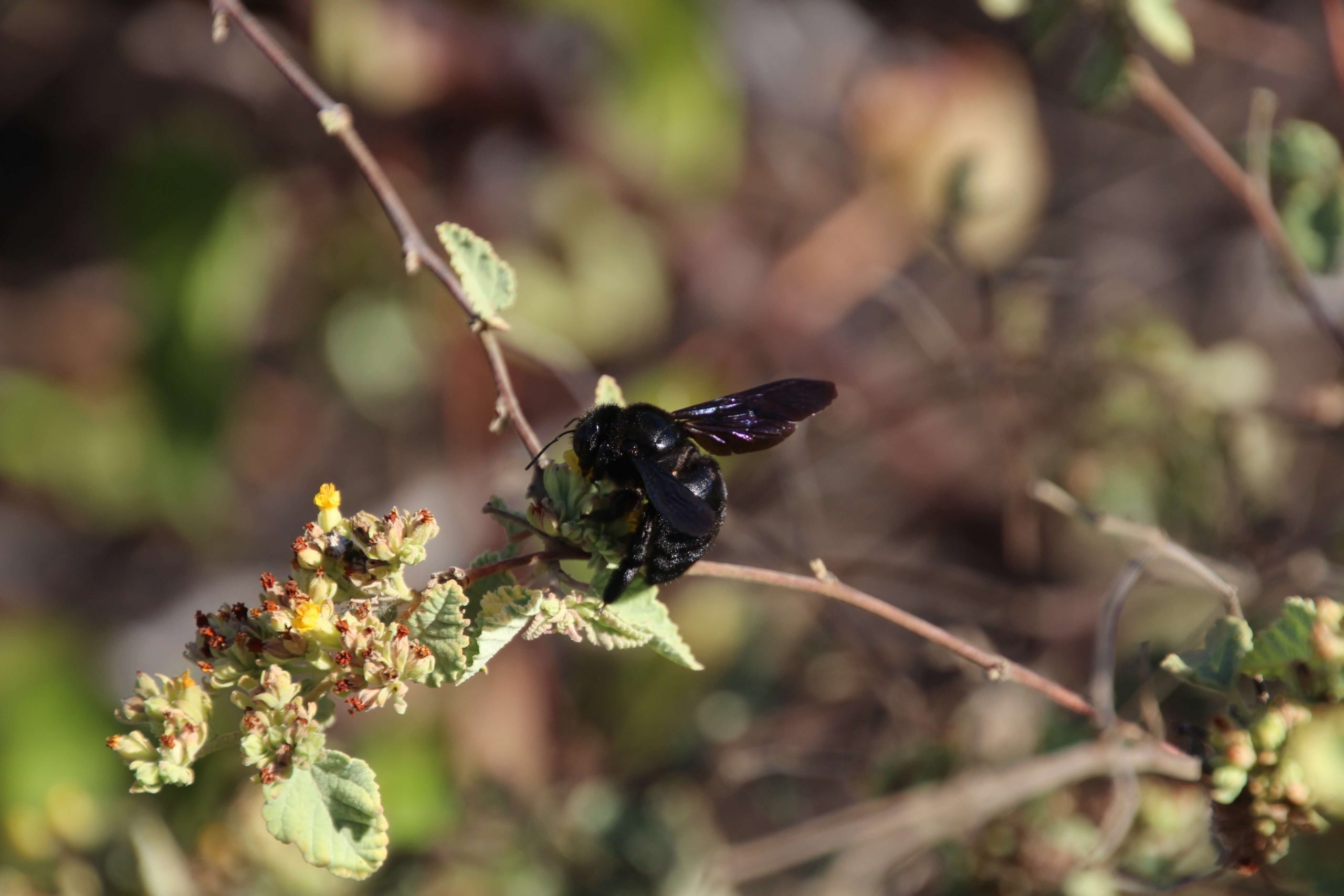 Carpenter bee © Ian Hewett