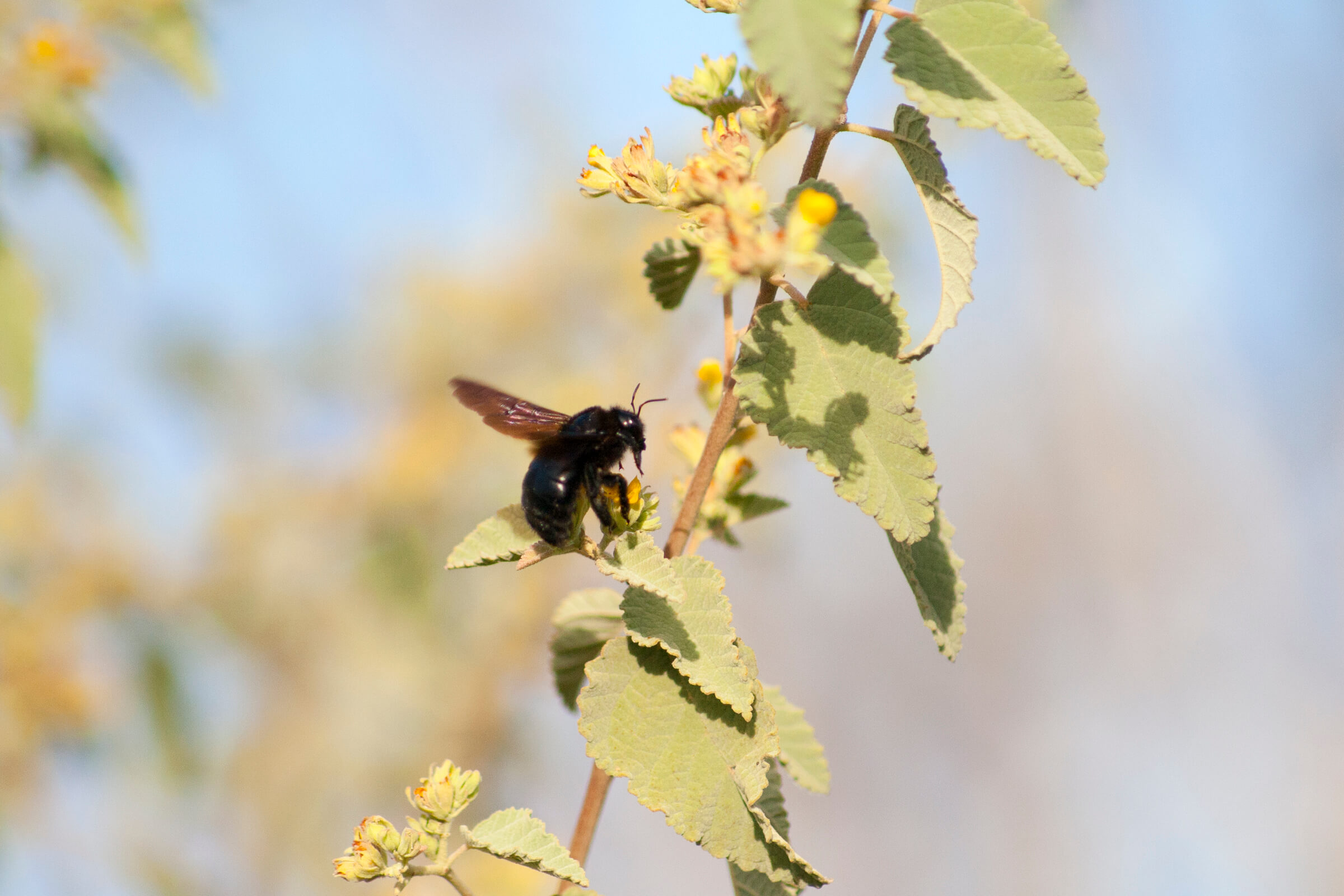 Carpenter bee - Amy Howe
