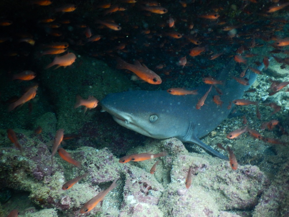 Lurking whitetip reef shark © Cathlene Ovadia