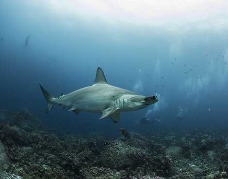Scalloped hammerhead © Simon Pierce