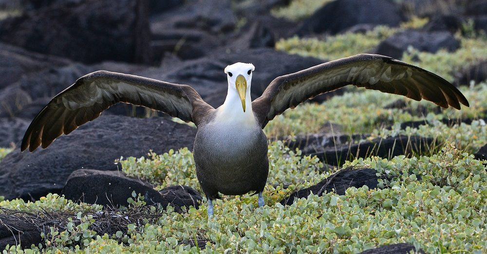 Waved albatross © Kelvin Boot