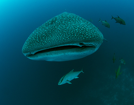 Whale shark © Jonathan Green