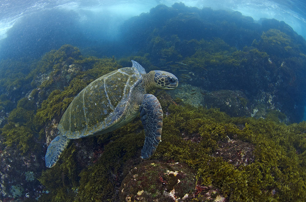 Galapagos green turtle © Jonathan Green
