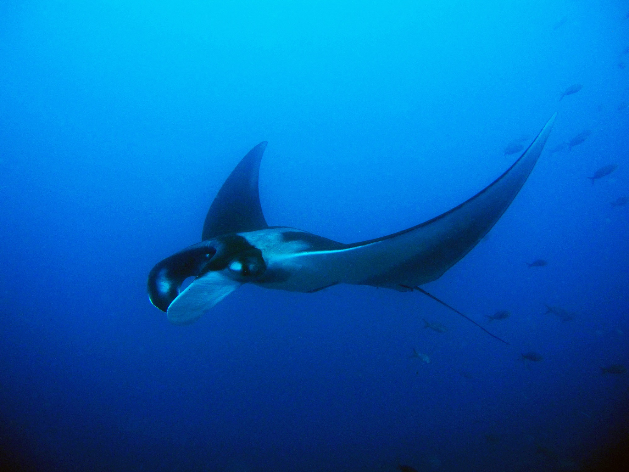 Manta ray - © Alice Bartlett