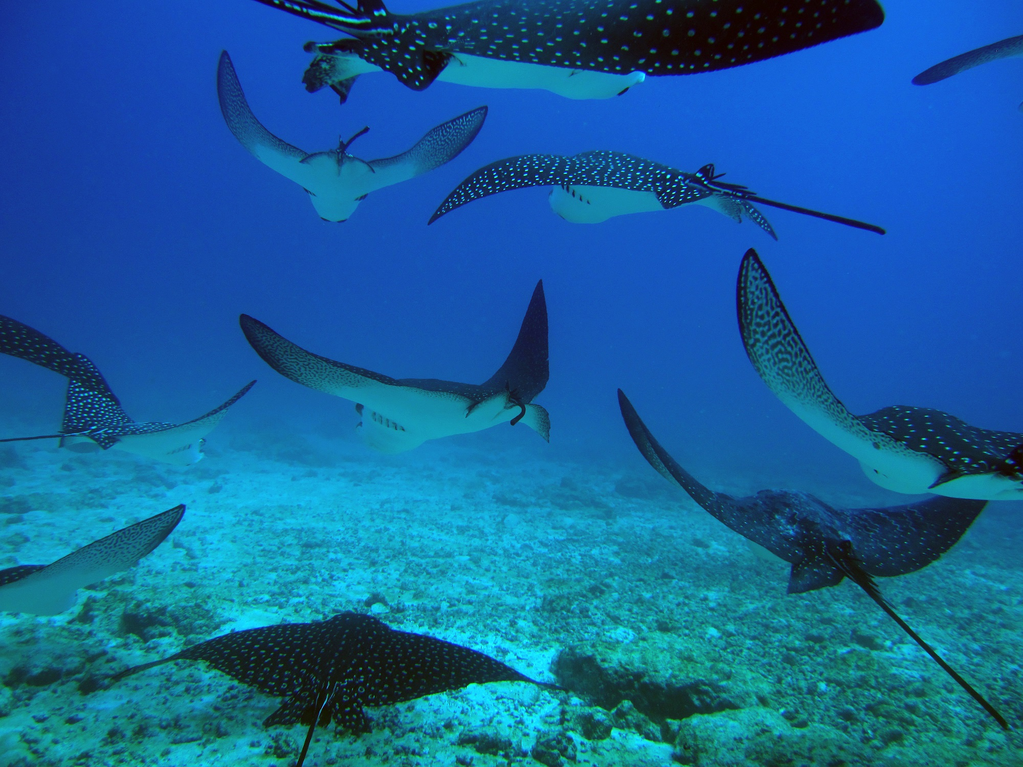 White spotted eagle rays - © Alice Bartlett