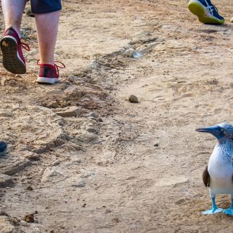 Blue-footed booby path - Donna Johnson