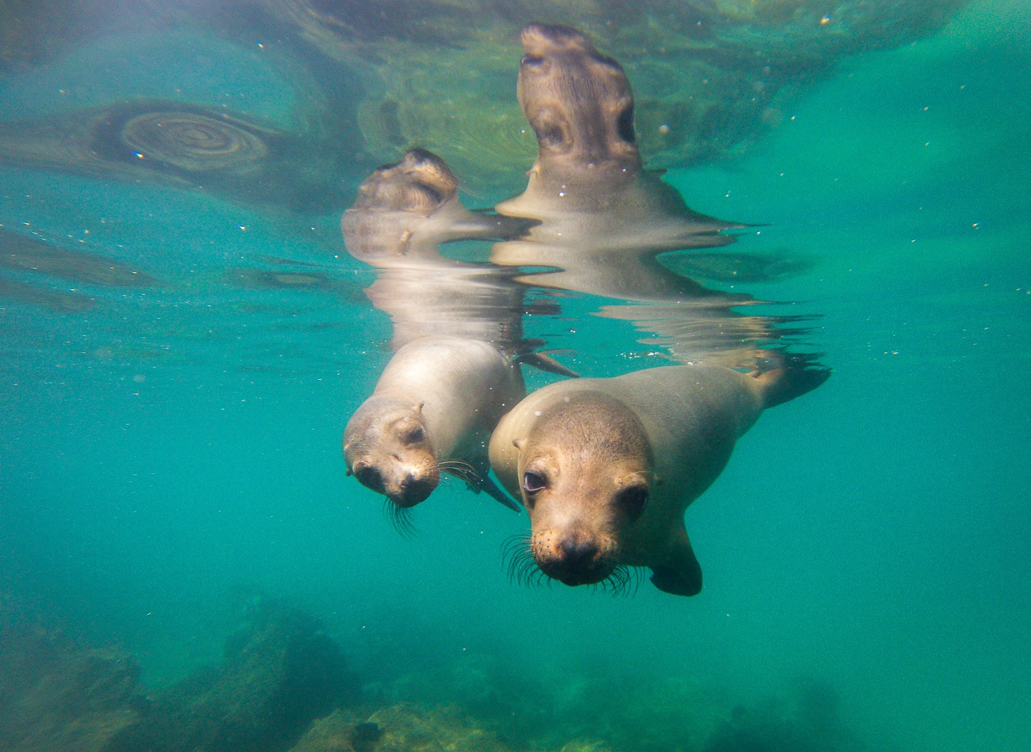 Curious Galapagos sea lions - Marcel Gross
