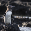 Galapagos Penguin © Simon Pierce