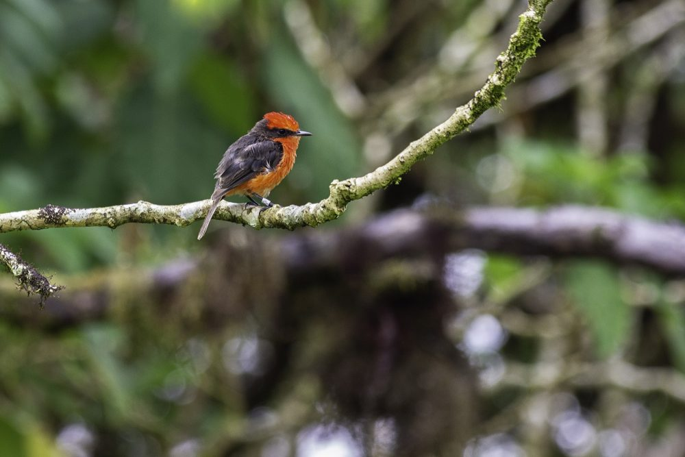 The male vermilion flycatcher is a striking red colour © Gammon Koval