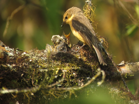 Female little vermilion flycatcher feeding a chick of a successful nest in 2020. © Agustin Gutierrez/CDF