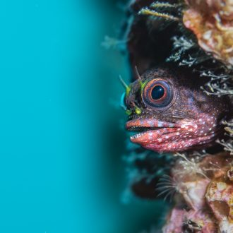 Overall 2nd Place and Coastal and Marine Winner - Galapagos barnacle blenny © Jon Anderson