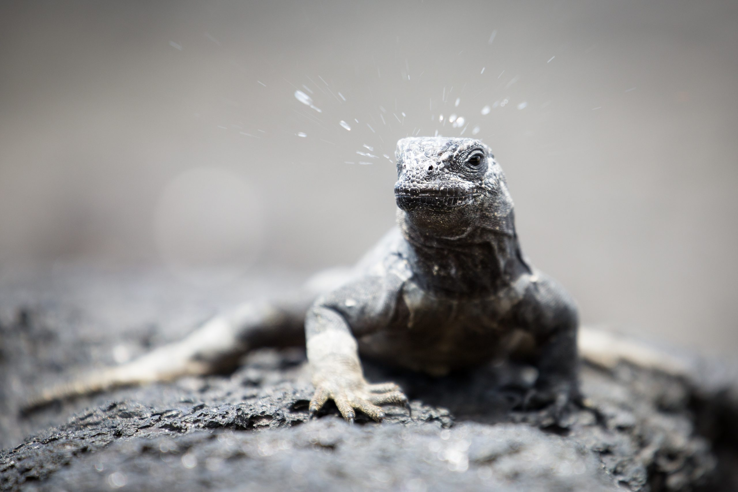 Overall 3rd Place and Animals in Action Winner - Young marine iguana sneezing © Kim de Buiteléir