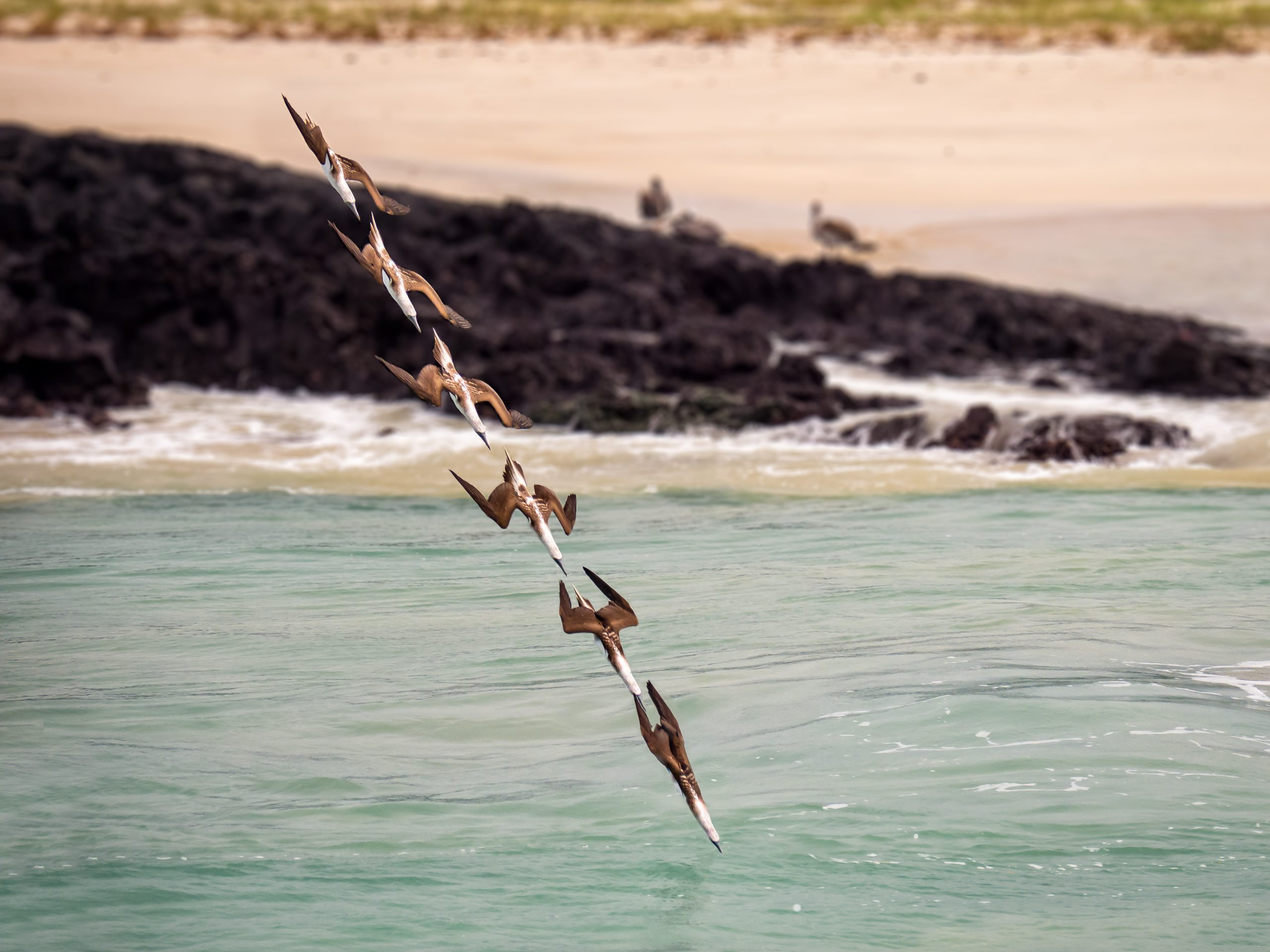 Animals in Action Runner Up - Blue-footed booby diving © Walter Rijk