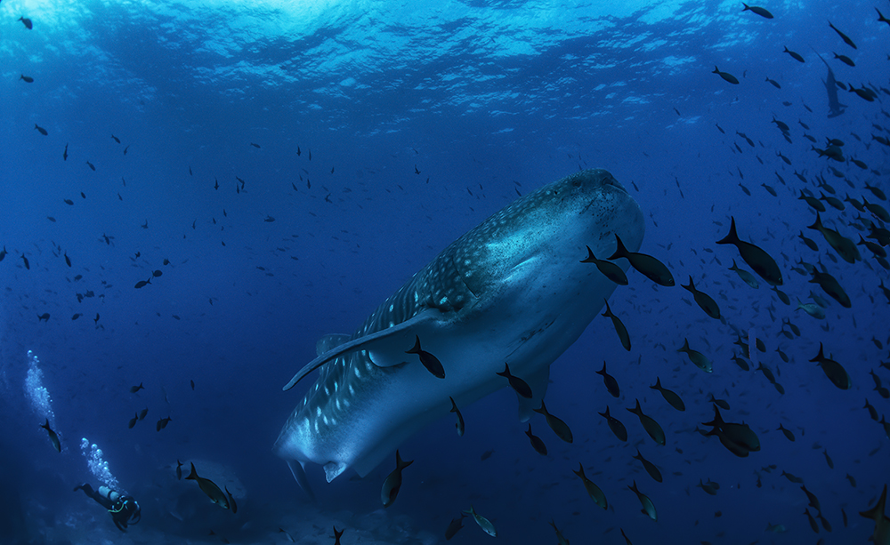 Whale shark swims past Darwin Arch platform - Jonathan Green