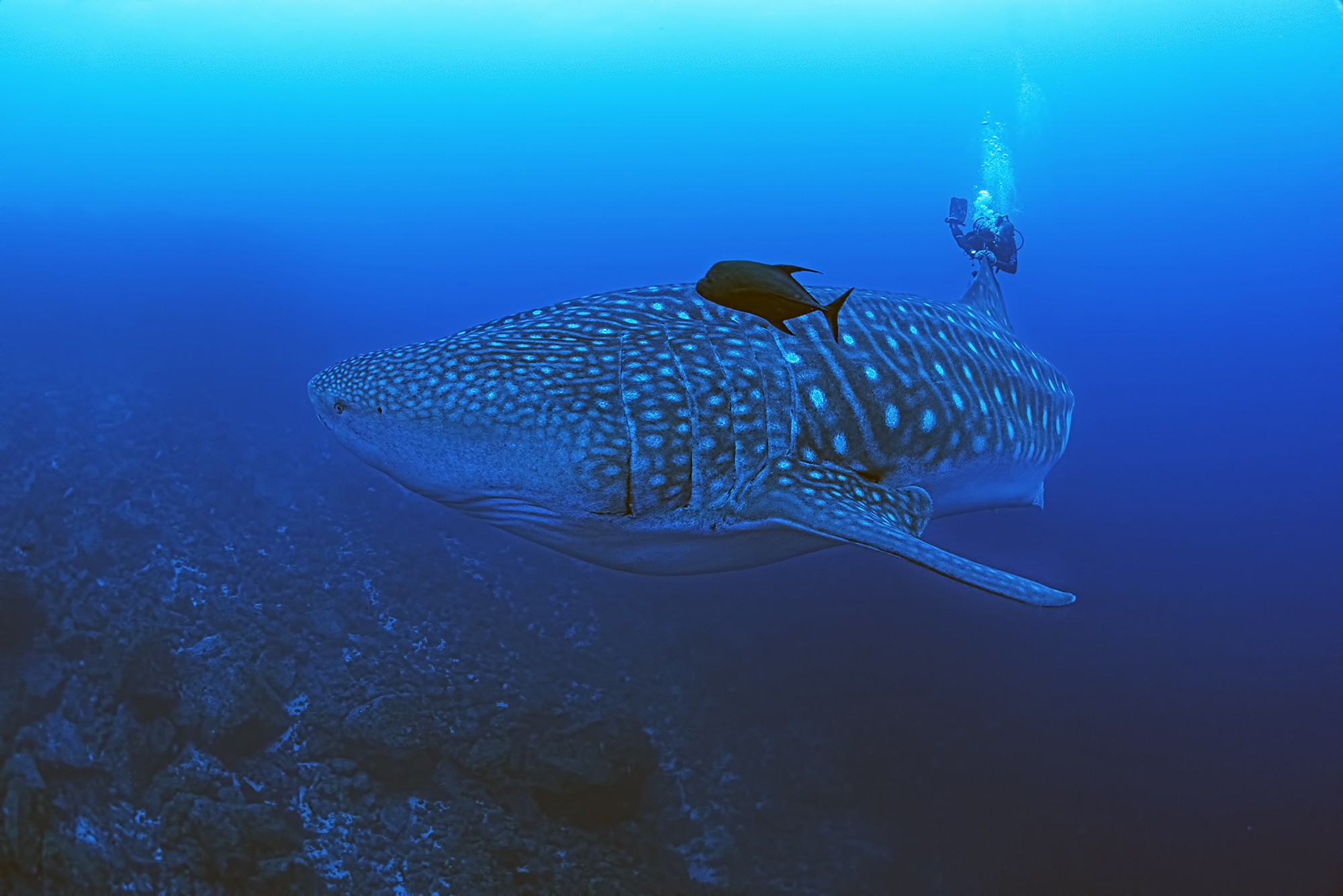 We don't want other endangered sharks to meet the same fate as Hope the whale shark © Jonathan Green