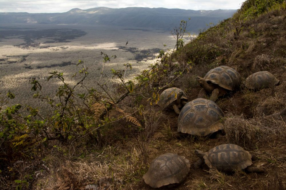 Tortoises on the slopes of Alcedo volcano © GTMEP