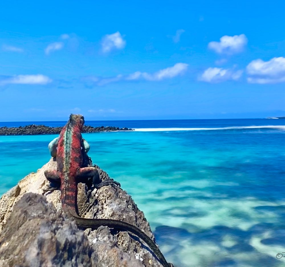 A marine iguana sat on a rock (male in the breeding season) looking out to see on San Cristobal