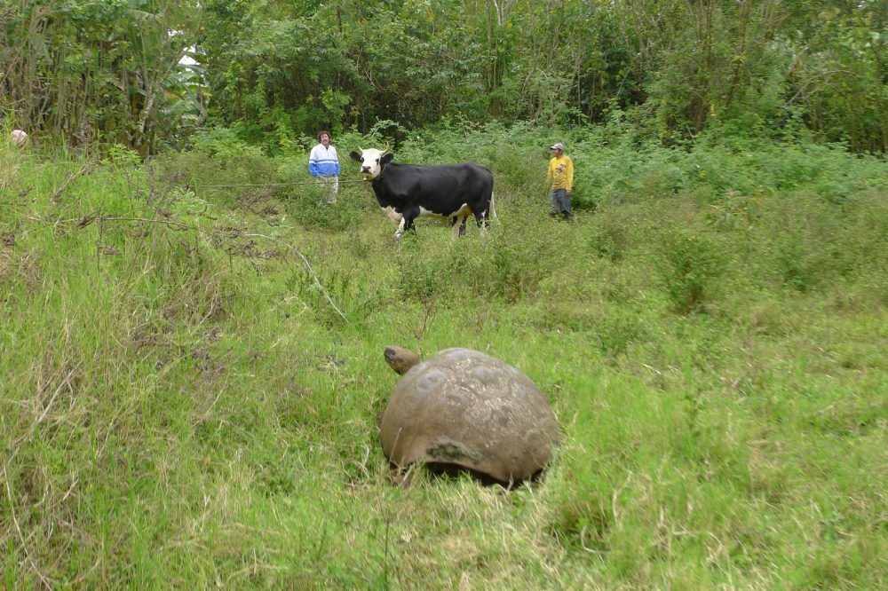 Wildlife, livestock and humans live side by side in Galapagos, showing two people in the background with a cow. There is a Galapagos giant tortoise in the foreground.