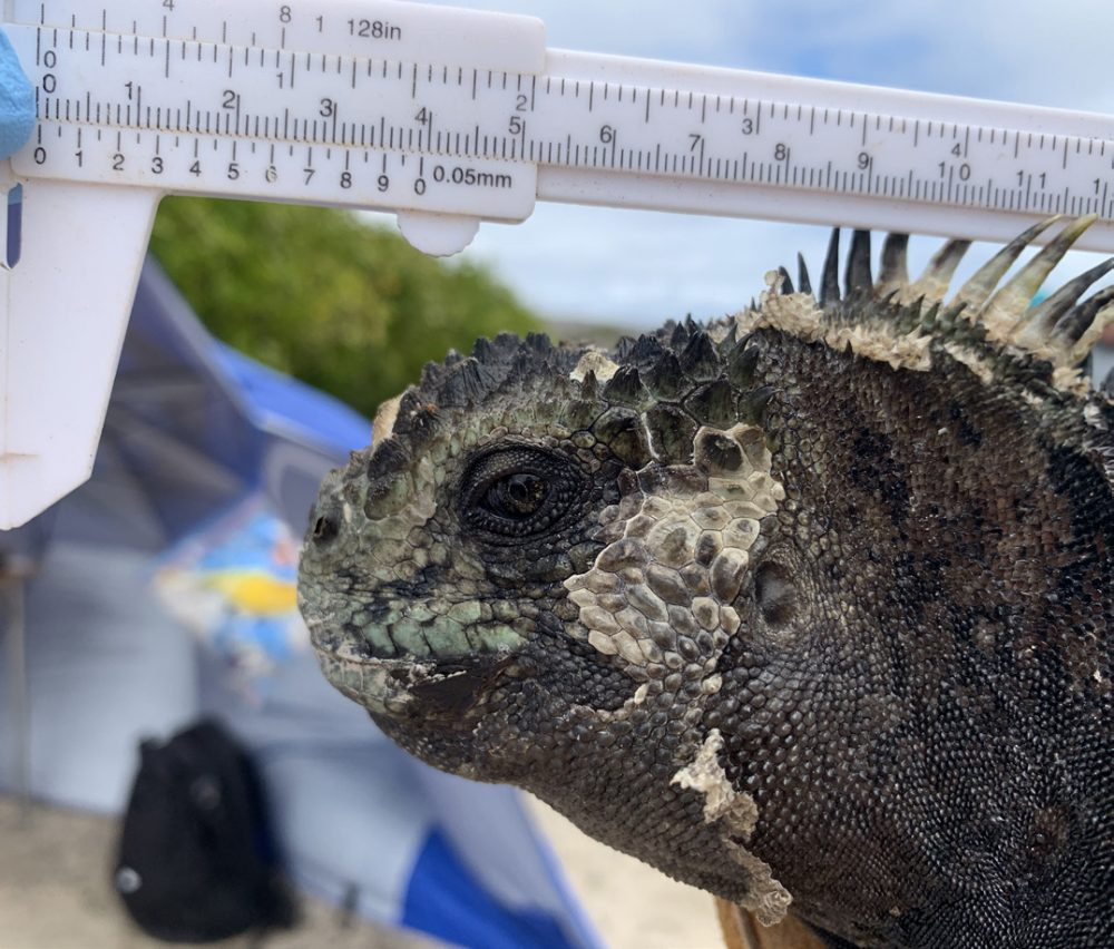 A scientist out of shot is holding a measuirng device onto the head of a marine iguana - they are taking health stats and key measurements of a marine iguana at La Lobería colony, San Cristobal