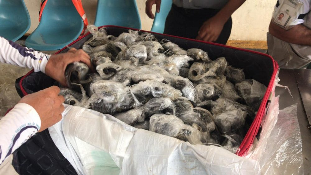 185 Galapagos giant tortoise hatchlings wrapped in plastic in a suitcase