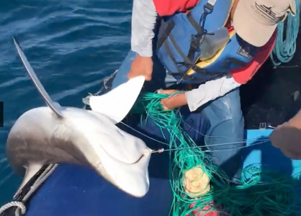 Shark caught on a long-line hook being pulled up into a boat